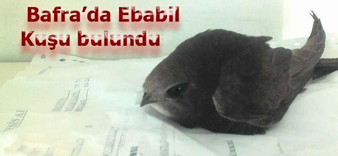 Bafra'da Ebabil Kuşu bulundu