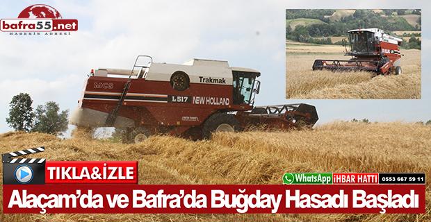 Alaçam'da ve Bafra'da Buğday Hasadı Başladı