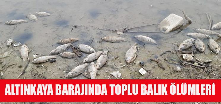 Altınkaya Barajında Toplu Balık Ölümü