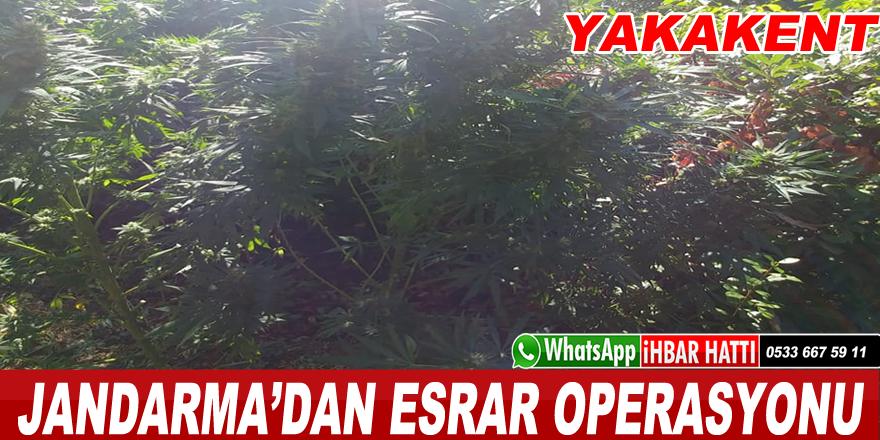 Jandarma'dan esrar operasyonu