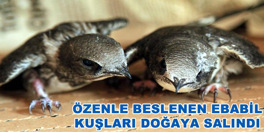 Özenle beslenen ebabil kuşları doğaya salındı