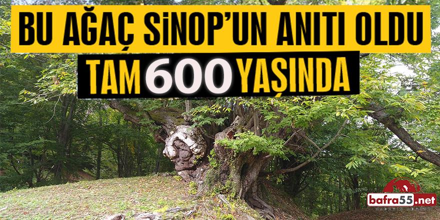 Bu Ağaç Sinop'un Anıtı Oldu