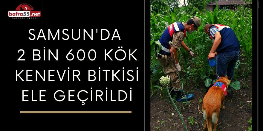 Samsun'da  2 Bin 600 Kök Kenevir Bitkisi Ele Geçirildi