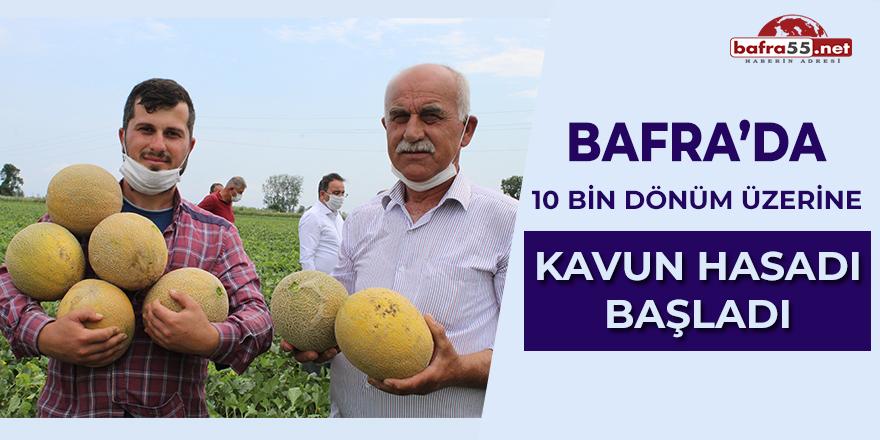 Bafra'da 10 bin dönüm üzerine kavun hasadı başladı