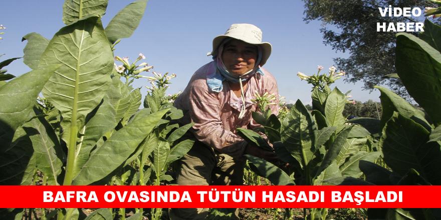 Bafra'da Tütün Kırma Sezonu Başladı