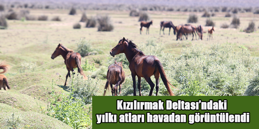 Kızılırmak Deltası'ndaki yılkı atları havadan görüntülendi
