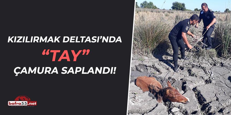 Kızılırmak Deltası'nda Tay Çamura Saplandı!