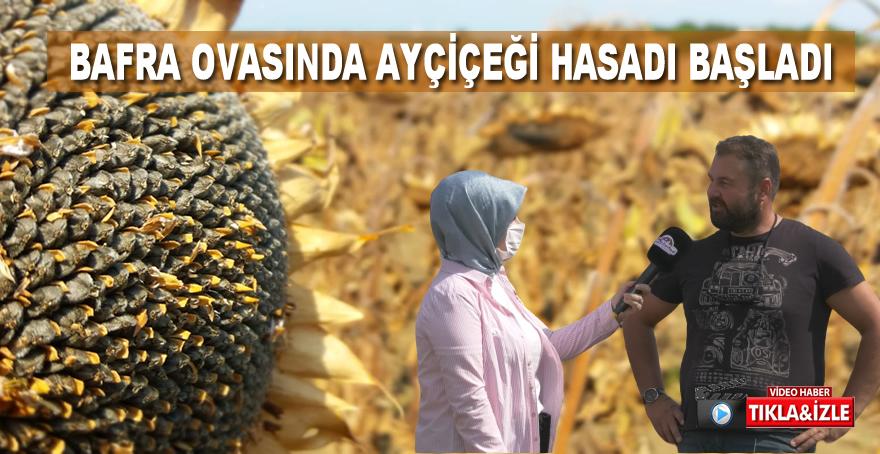 Bafra'da ayçiçeği için hasat dönemi başladı