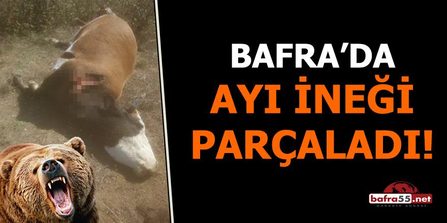 Bafra'da ayı ineği parçaladı