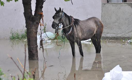 Atlar Sel suyuna kapıldı