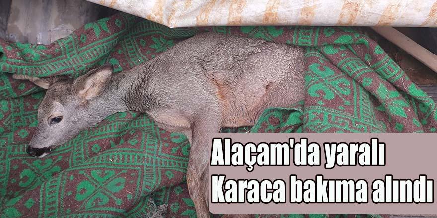 Alaçam'da yaralı Karaca bakıma alındı
