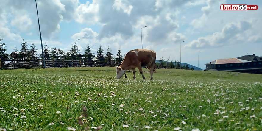 Süt sığırcılığının geliştirilmesi için bakanlığa proje sunuldu