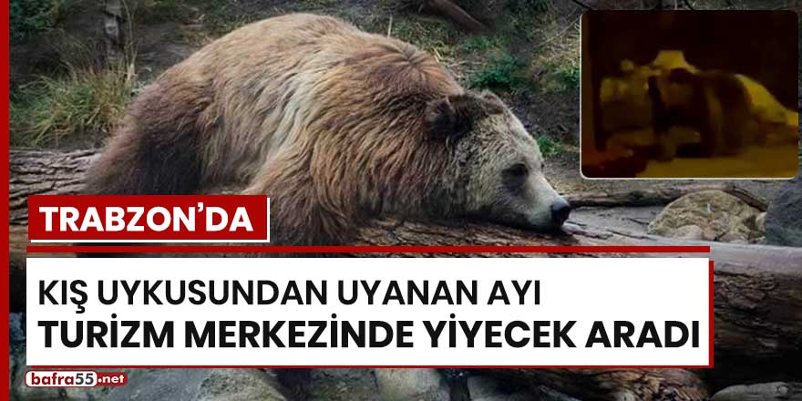 Trabzon'da kış uykusundan uyanan ayı turizm merkezinde yiyecek aradı