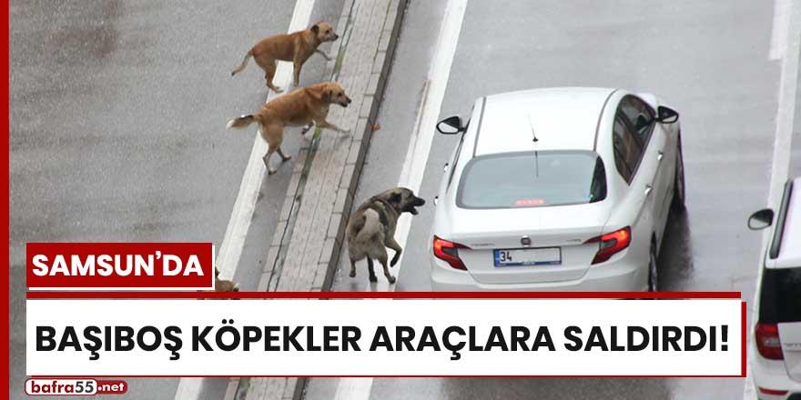 Samsun'da başıboş köpekler araçlara saldırdı