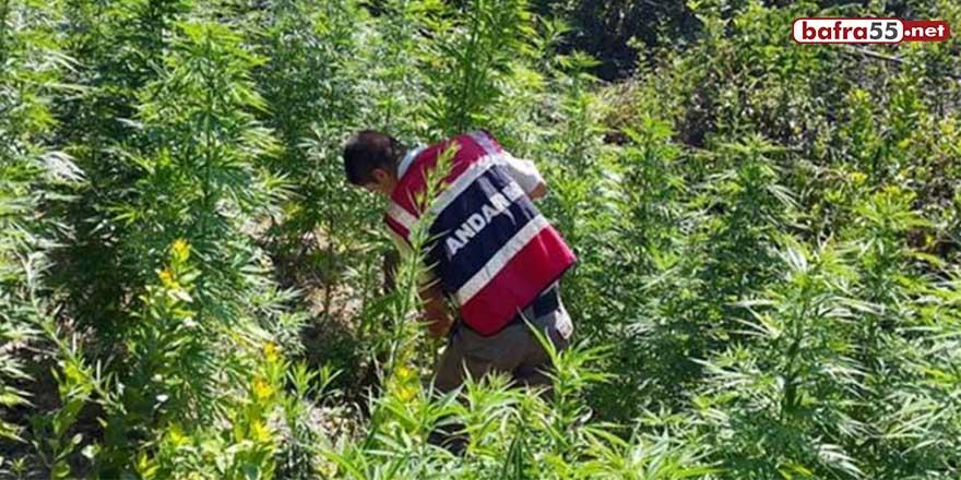 Samsun'da 3 tarlada kaçak olarak ekili kenevir bitkisi ele geçirildi