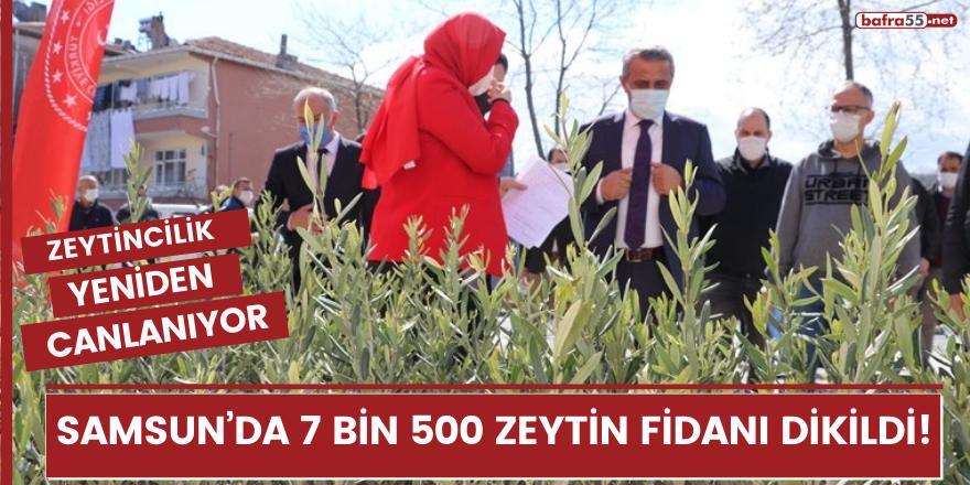 Samsun'da 7 bin 500 zeytin fidanı dikildi: Zeytincilik yeniden canlanıyor!