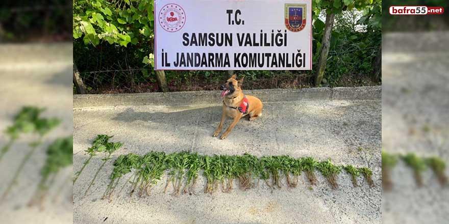 Samsun'da 326 kök kenevir bitkisi ele geçirildi