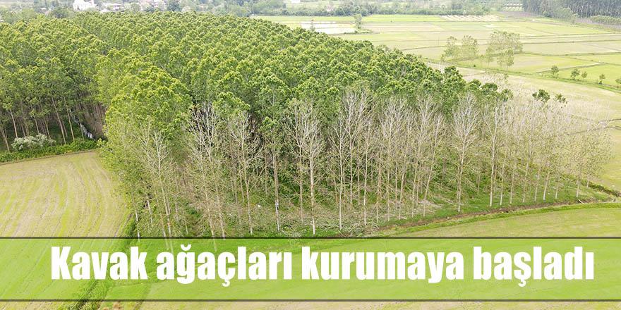 Kavak ağaçları kurumaya başladı