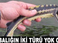 Prof. Dr. Serap Ustaoğlu: Mersin balığının 2 türü yok oldu
