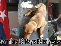 Yaralı hayvanlara 19 Mayıs Belediyesi sahip çıktı
