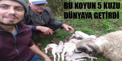 5 kuzu dünyaya getiren koyun ilgi odağı
