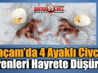 Alaçam'da 4 Ayaklı Civciv görenleri hayrete düşürdü