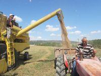 Kavak İlçesinde Buğday Hasadı Başladı