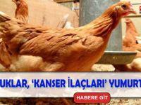 Kanser İlaçları Yumurtlayan Tavuk Yetiştirildi!