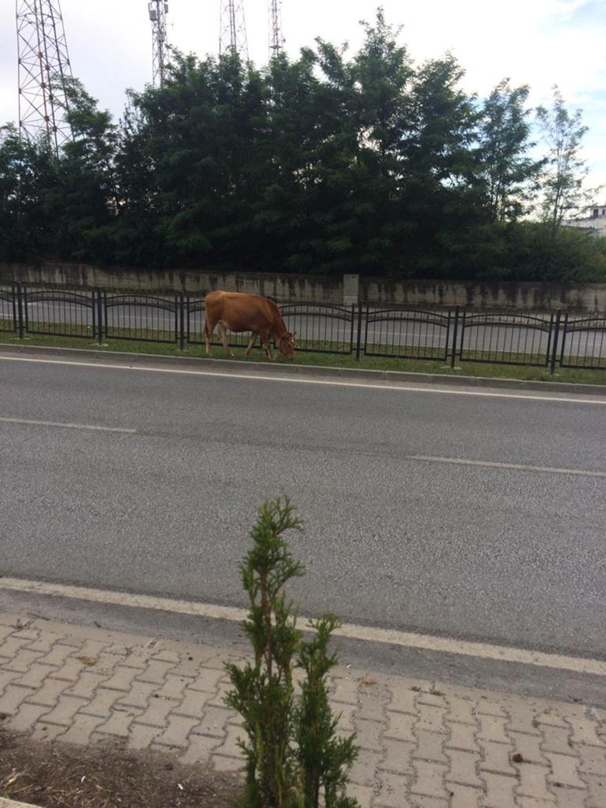 bafrada-bu-inekler-fenomen-oldu-1.jpg