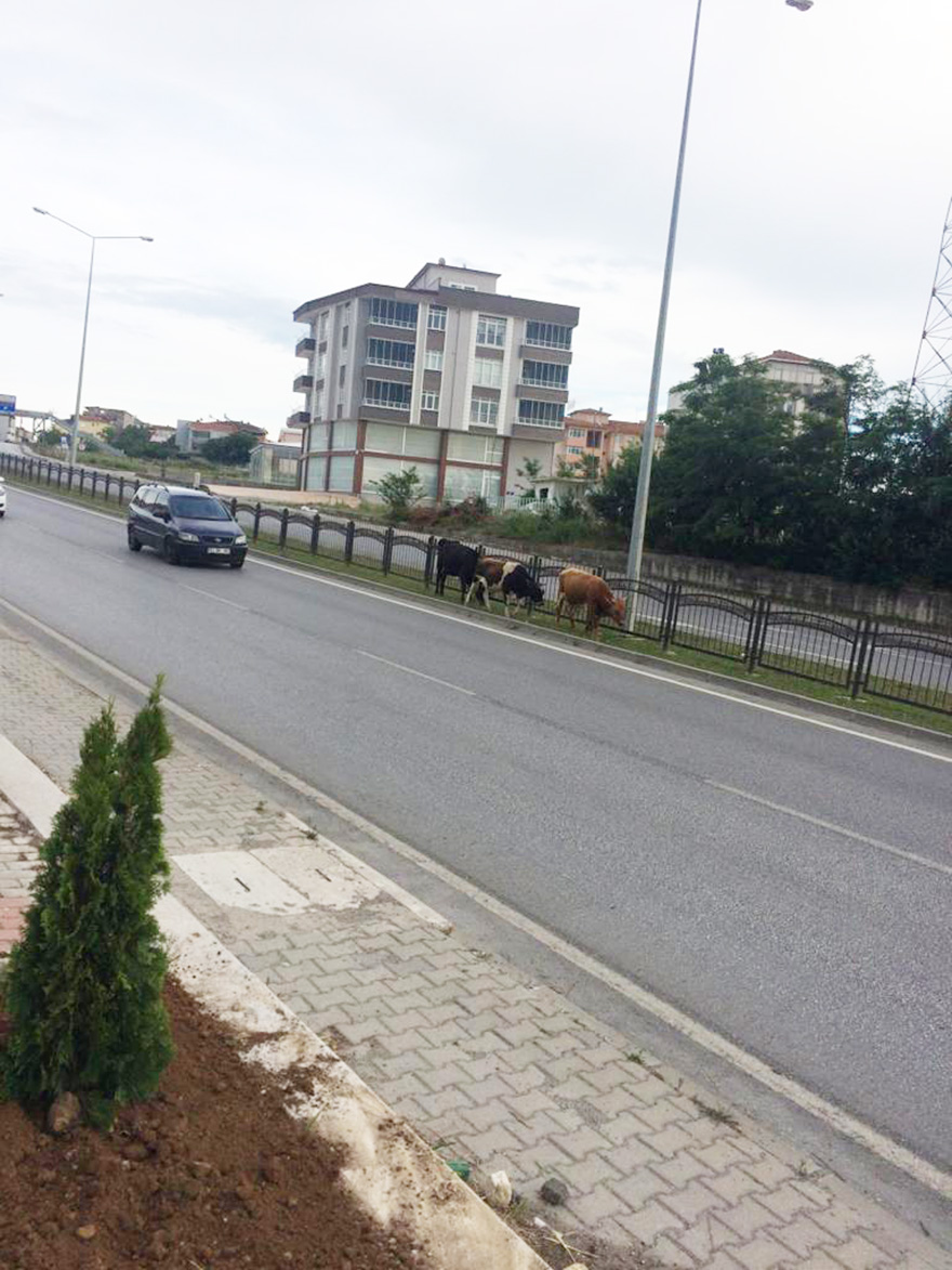bafrada-bu-inekler-fenomen-oldu-2.jpg
