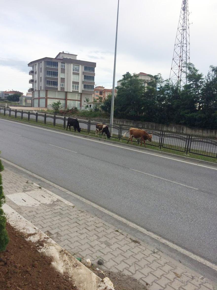bafrada-bu-inekler-fenomen-oldu-3.jpg