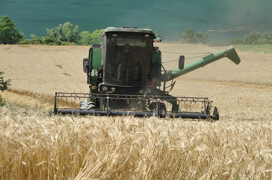 bafrada-bugday-hasadi-devam-ediyor-6.jpg