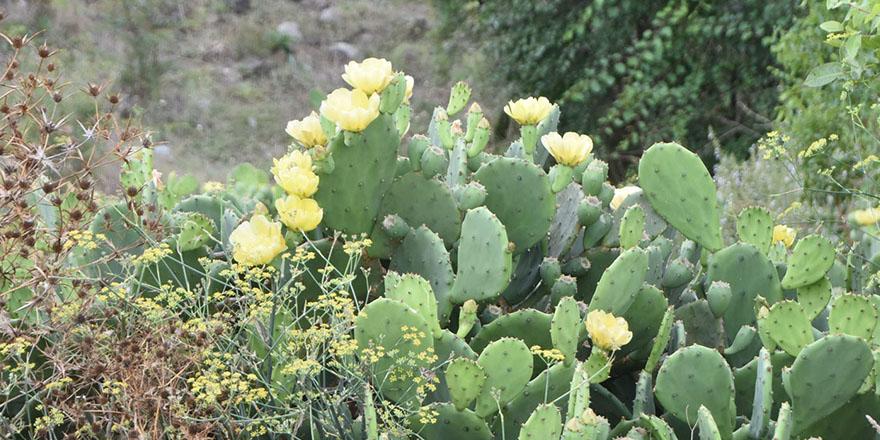 dikenli-kaktus-inciri-sifa-dagitiyor-3.jpg