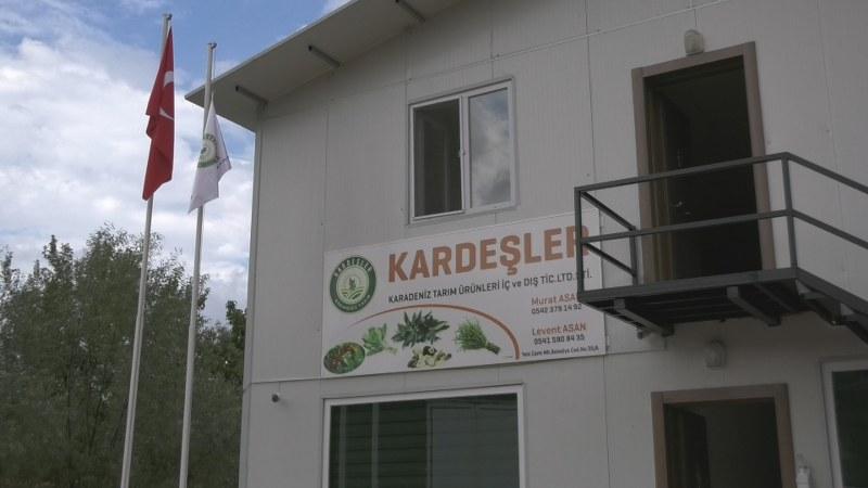 Alaçam'da üretilen defne yaprağı Türkiye'nin her yerinde