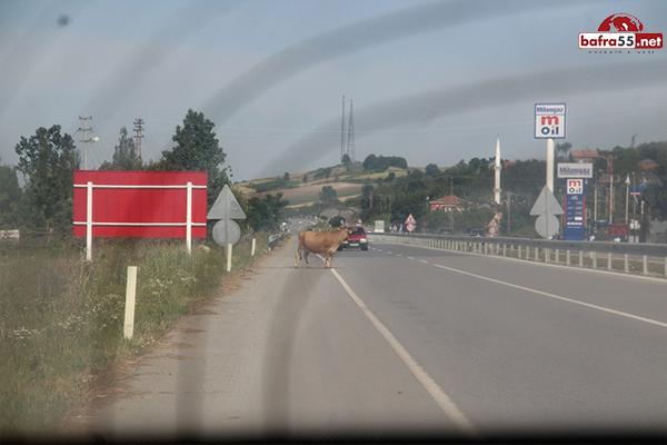 inekler-trafikte.jpg